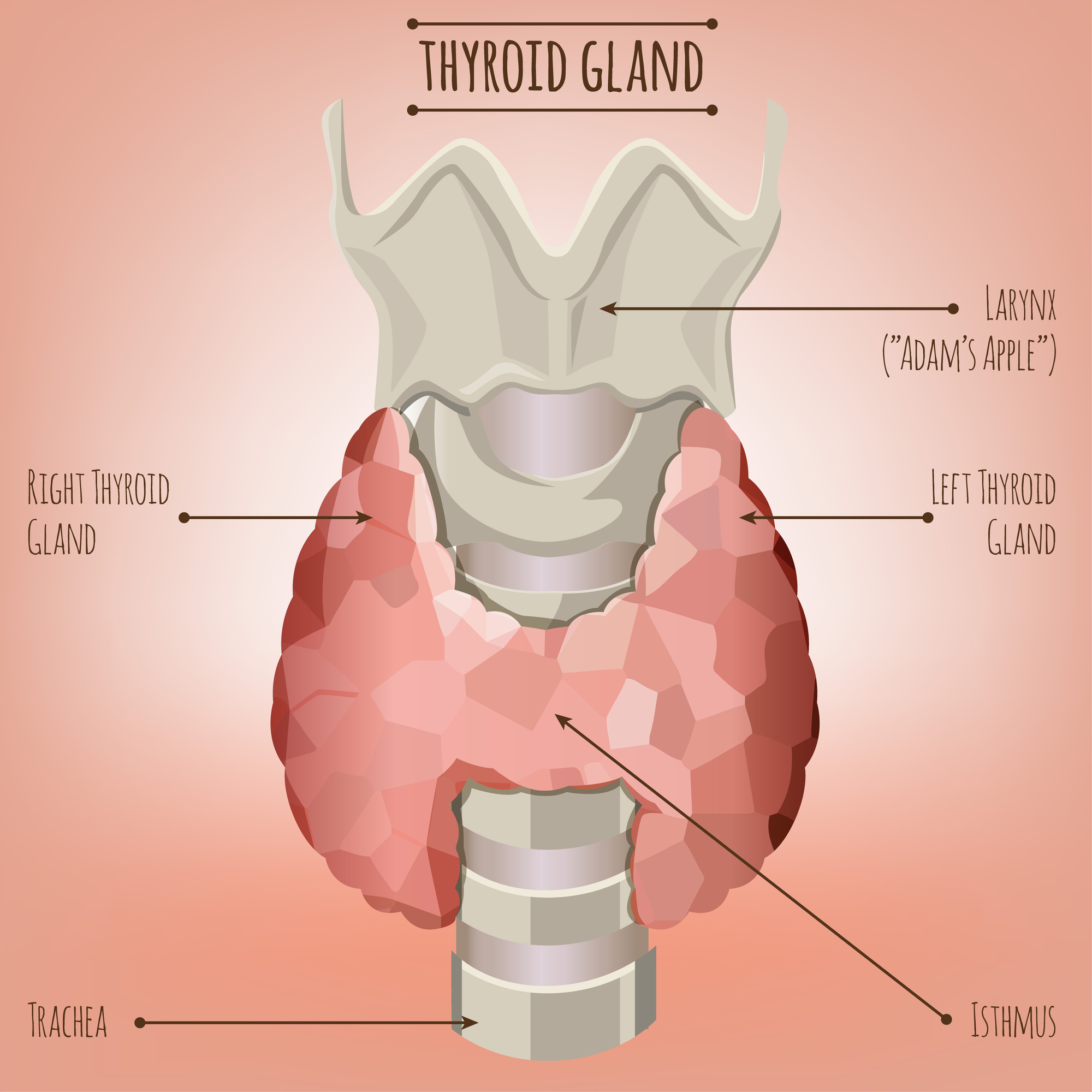 Thyroid Gland Diagram Dr Davis Blog