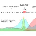 menstrual phases